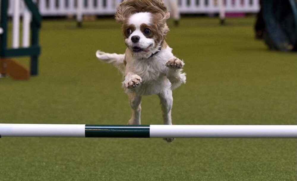 A spaniel jumping over a pole competing in crufts