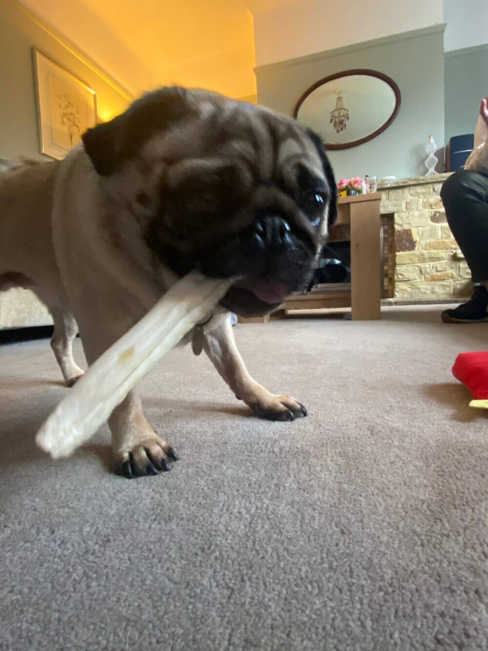 A pug, Taser aka Lily, chewing a chew stick